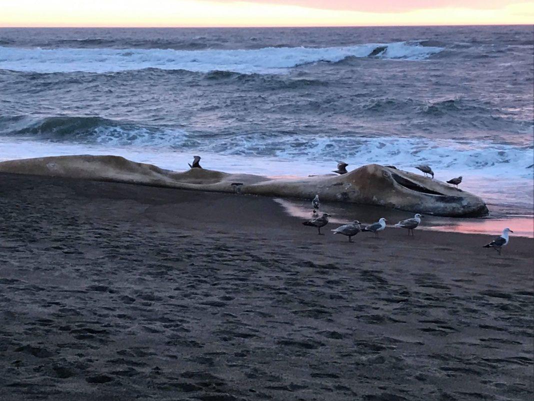 Lincoln Beach Whale