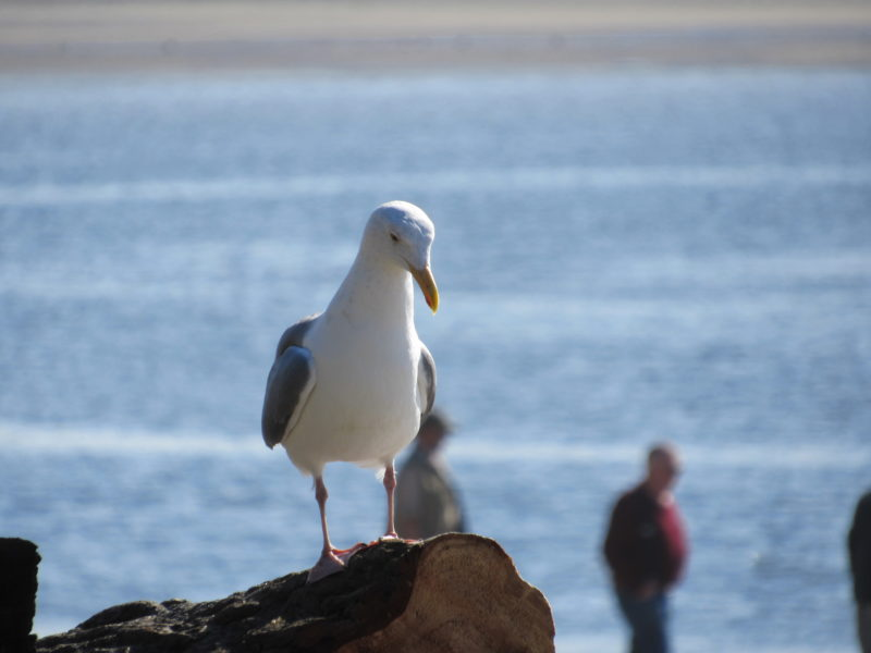Lincoln City Seagull