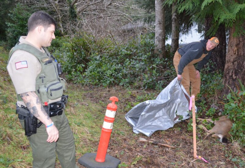 Depoe Bay city worker Steve Koechel checks the handiwork of Deputy Zach Landry of the Lincoln Co. Sheriff's Office, who was called to the scene to humanely dispatch an injured deer Thursday. (Photo by Rick Beasley)